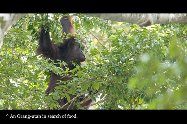 70_orangutan