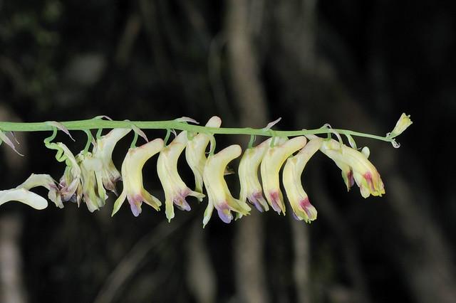 紫堇科 紫堇属 弯果黄堇