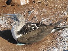 animal, wing, fauna, booby, beak, bird, wildlife,