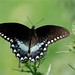 CBS - Triad: Surry Co., NC Butterfly Count, 8/7/10