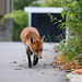 Fearless Freddy the urban fox taking a walk