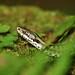 Huggorm (Vipera berbus), Common Viper_2010_2 by freddyjohansen