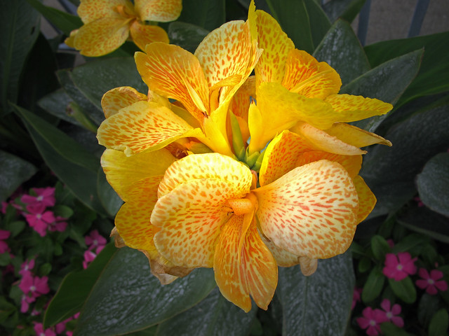 yellow flower #1- canna lily