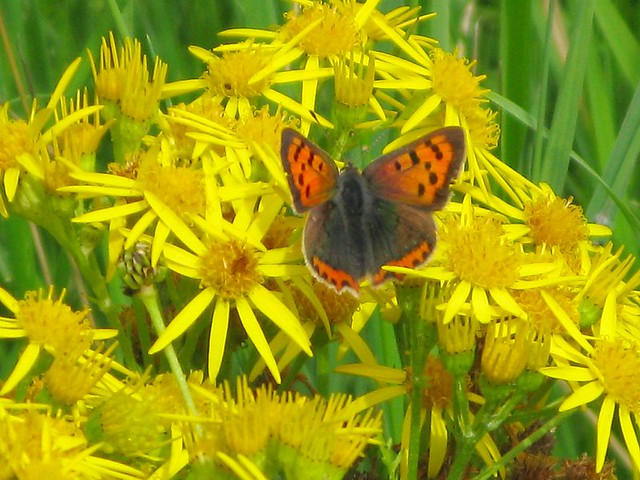 small copper butterfly | Emma Lamb