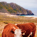 Cattle by the Sea