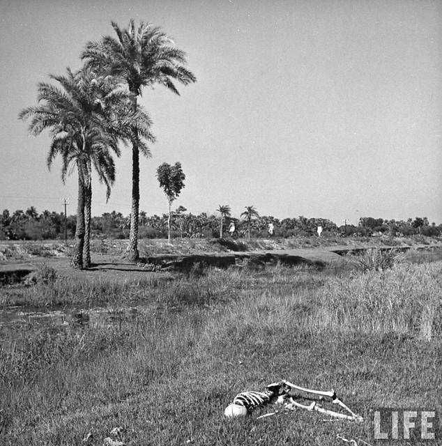 The skeleton of a starved man lying in a field after being eaten by vultures and jackals, Bengal Famine, by William Vandivert 1943