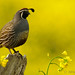 Quail in a Golden Field