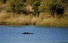 Hippopotamus amphibius - Hippopotamus