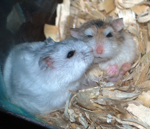 white dwarf hamster with red eyes - photo #25