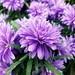Asteraceae 菊科