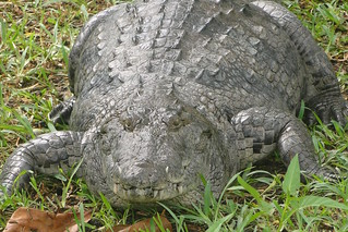 Crocodile at Hans Cottage Botel - Near Cape Coast - Ghana