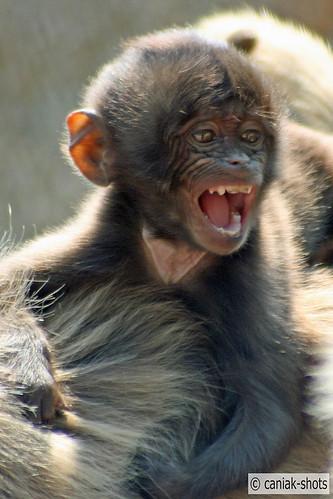 Gelada Baboon baby 2