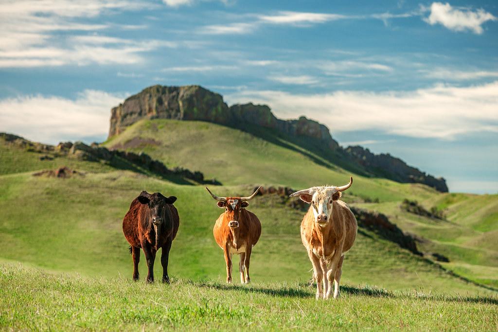 Montana Longhorns