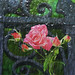 A Rose from Venice to my eternal beloved Elsbeth Dyckhoff by gnuckx