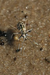 Sandbar Tiger Beetle - Ellipsoptera blanda - Horry County, South Carolina, USA - June 14, 2010