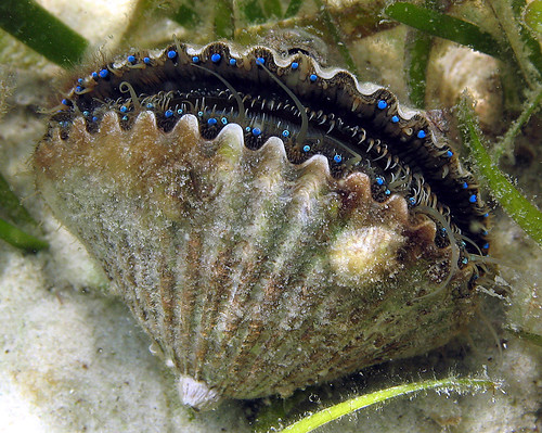 Bay scallop, Panama City Beach, Florida