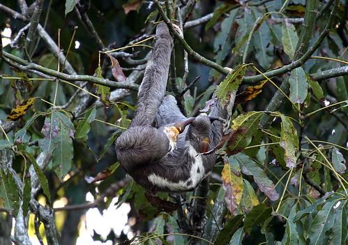 Three Toaed Sloth