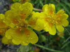 brassica(0.0), shrub(0.0), mustard(0.0), rue(0.0), produce(0.0), hypericum(0.0), annual plant(1.0), flower(1.0), yellow(1.0), macro photography(1.0), subshrub(1.0), wildflower(1.0), flora(1.0), common tormentil(1.0),