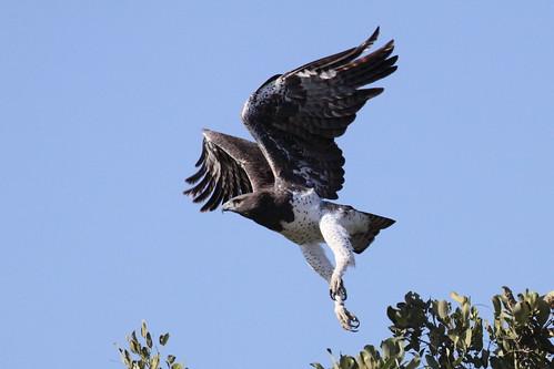 Martial Eagle, Polemaetus bellicosus, Breekoparend.
