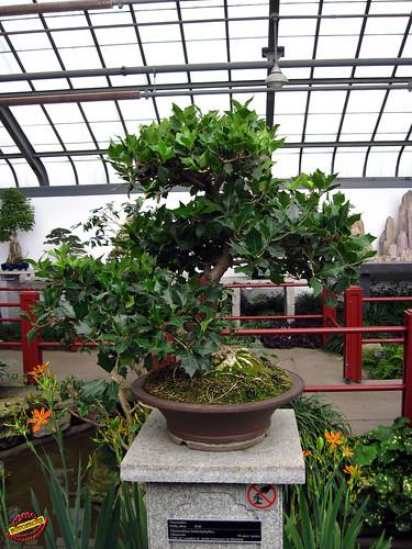 Bonsaï & Penjing - Holly olive - Osmanthus hetrophyllus - Oleaceae - 15 years old - Created at the Jardin botanique de Montréal mC20100629 089