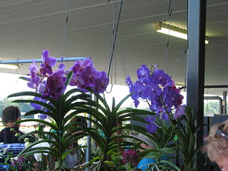 Vanda caerulea hybrids for sale