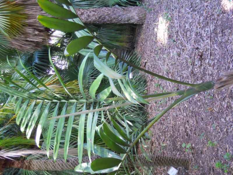 Chambeyronia macrocarpa v 1