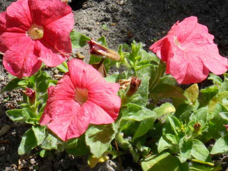 Petunia x hybrida rosa 1