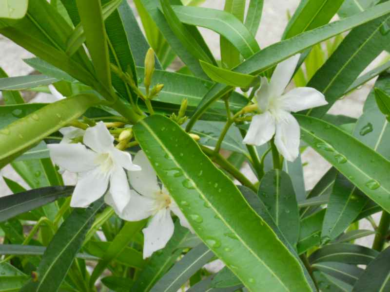 Nerium oleander 'Album Maximum' detalle 2