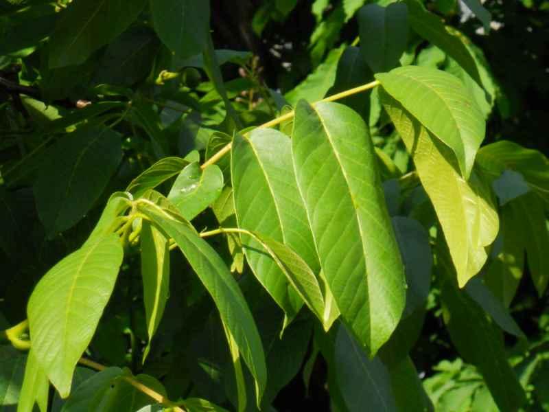 Juglans regia hojas 4