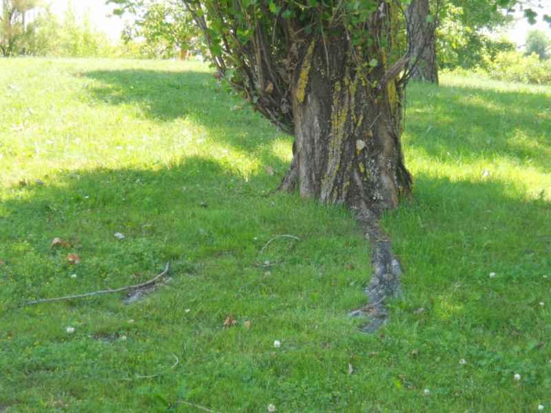 Populus nigra 'Italica' raíces 5