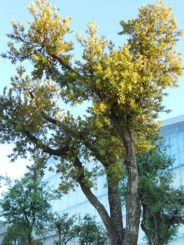 Quercus suber v 4