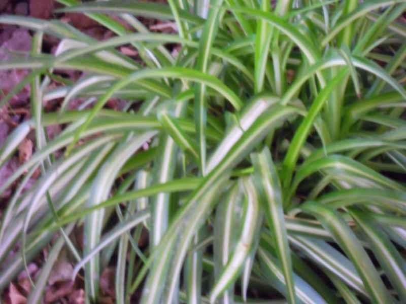 Chlorophytum comosum 'Variegatum'.. hoja 2