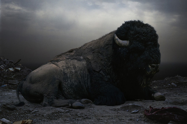 Until the Kingdom Comes, Bison, by Johan Simen 2008