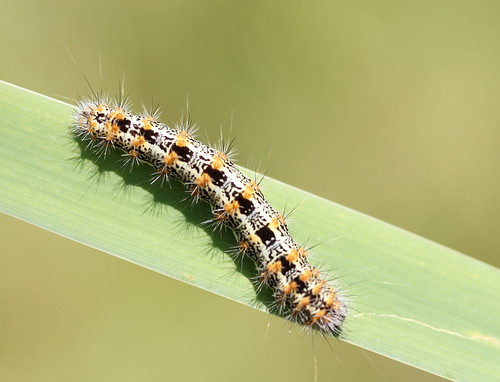 Cattail Caterpillar, Henry's Marsh Moth, Simyra insularis