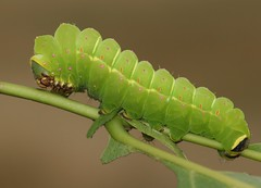 American moon moth (Actias luna) caterpillar, final instar