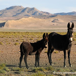 Donkey Family in Northern Argentina