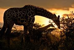 奈洛比國家公園的長頸鹿。 rabbit.Hole攝。