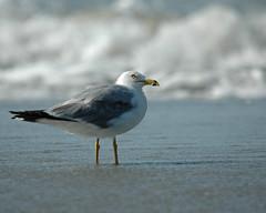 Sea Gull-0593