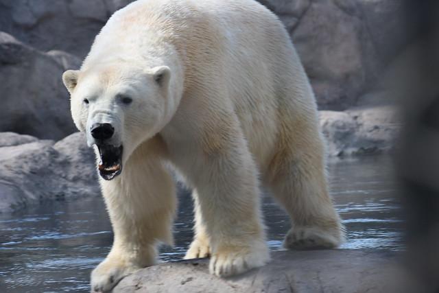 Mad Polar Bear Related Keywords & Suggestions - Mad Polar ...