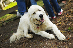 dog breed, animal, polish tatra sheepdog, dog, pet, maremma sheepdog, mammal, slovak cuvac, goldendoodle, great pyrenees,