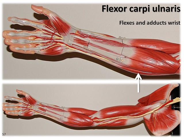 Flexor carpi ulnaris - Muscles of the Upper Extremity Visual Atlas, page 57