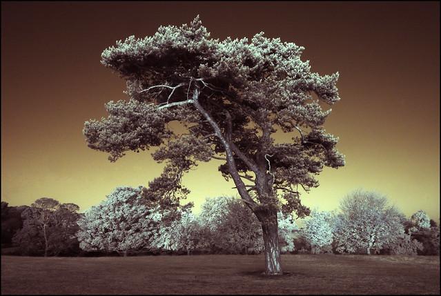 2374 Tree IR #4