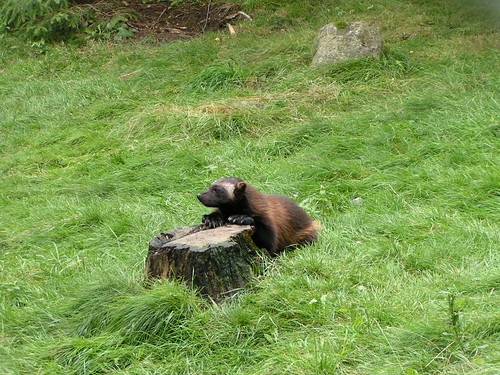 Posing wolverine cub
