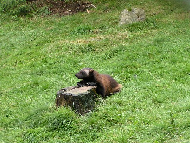 Posing wolverine cub, by Flickr user Kakakrokodil.