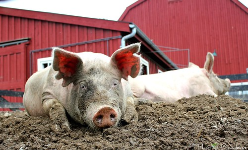 It's a Tough Life for a Pig