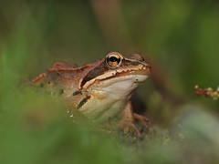 lissotriton(0.0), tree frog(0.0), animal(1.0), amphibian(1.0), frog(1.0), nature(1.0), macro photography(1.0), fauna(1.0), close-up(1.0), ranidae(1.0), bullfrog(1.0), wildlife(1.0),