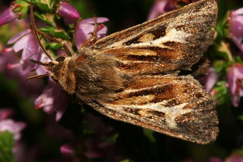 Antler Moth 40907