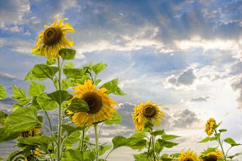 sun green field yellow clouds photoshop farm sunflower gmt colorphotoaward impressedbeauty platinumheartaward nikonflickraward topazadjust nikonflickrawardgold platinumpeaceaward flickrunitedaward elitegalleryaoi nikonflickrawardplatinum