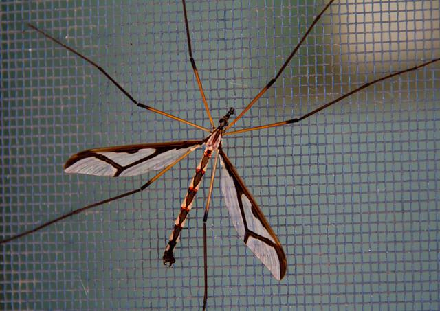Giant Eastern Crane Fly on the screen door
