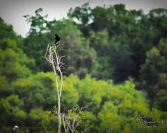 2017-07-03_boat-tailed grackles,Chautauqua Park_P7030764